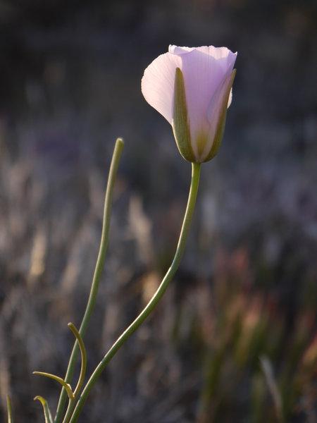 A flower glows in dawn's light.