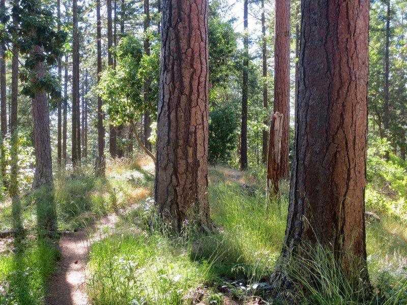 Ponderosas flourish along the Caterpillar Trail.