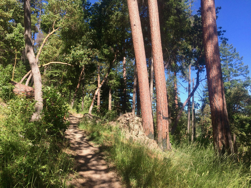 Ponderosas, madrones, and grasses grow fervently along the Catwalk Trail.