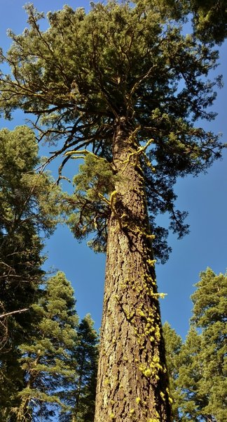 A huge, beautiful old-growth fir grows along the Chaos Crags Trail.