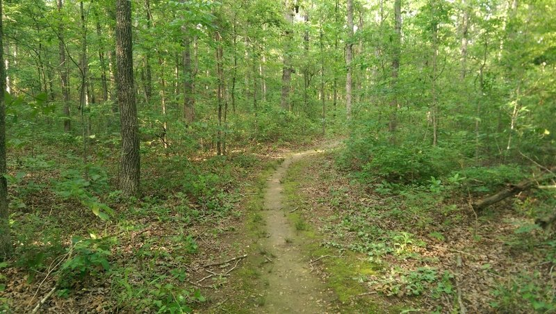 This stretch of singletrack shows some signs of the overgrowth coming back in after the initial wide cutback.