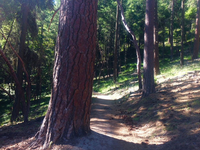 This large tree marks the entrance to the Toothpick Trail (from Ashland Loop Road 2060).