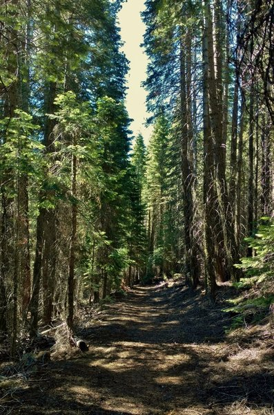 Enjoy the solitude going through the dense, tall firs on Nobles Emigrant Trail (West).