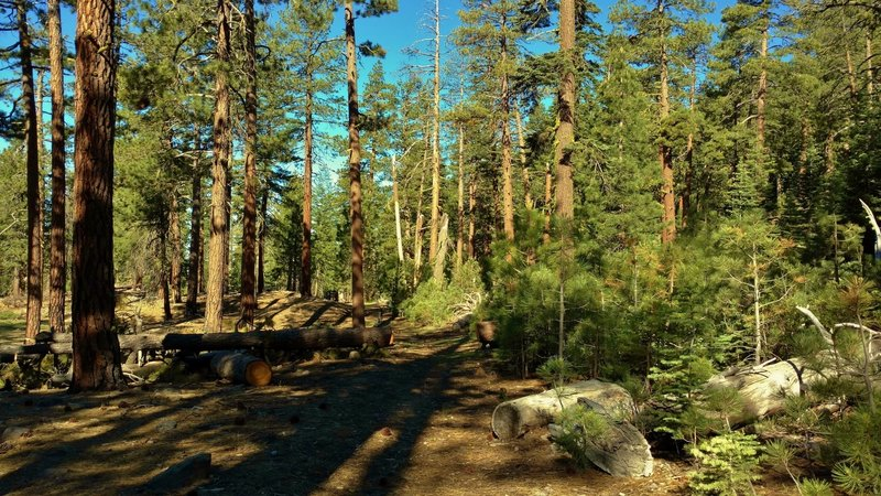 Nobles Emigrant Trail (West) goes through the beautiful fir forests of Lassen National Park.