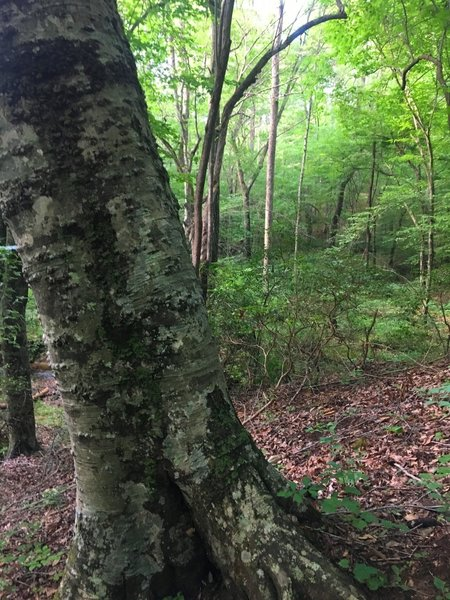 A grizzled old beech tree stands guard along the trail.