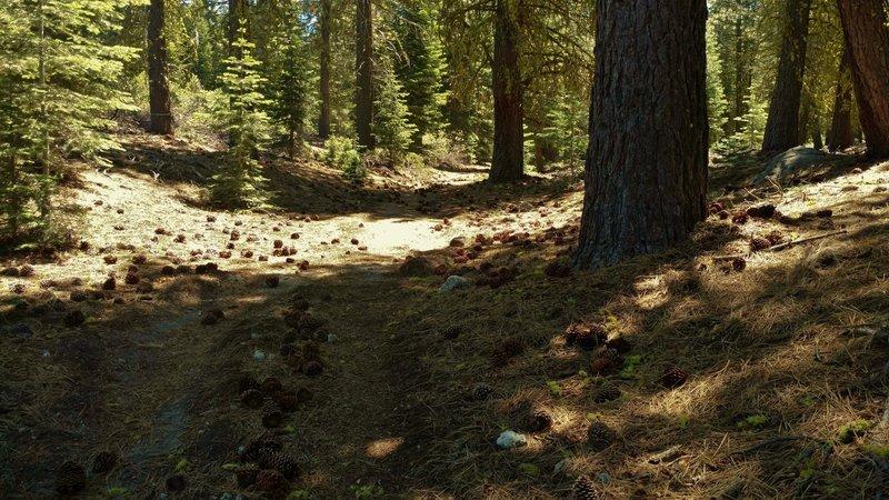 Big pine cones are everywhere along the Manzanita Creek Trail.