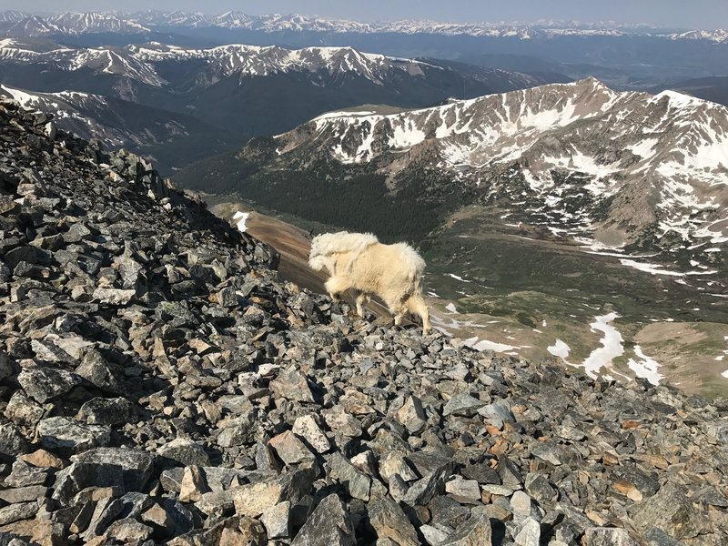 Mountain goat near top of Grays.