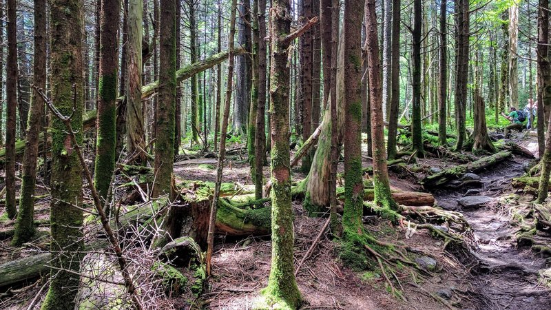 Near the summit of Mt. Rogers, dense, wet forest take over for a Pacific Northwest vibe.