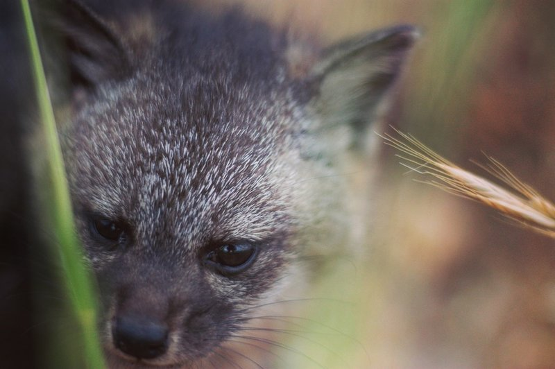 A Santa Catalina Island Fox noses through the grass just off trail.
