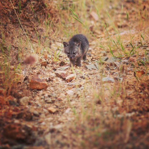 A Santa Catalina Island Fox Pup trots down the trail.