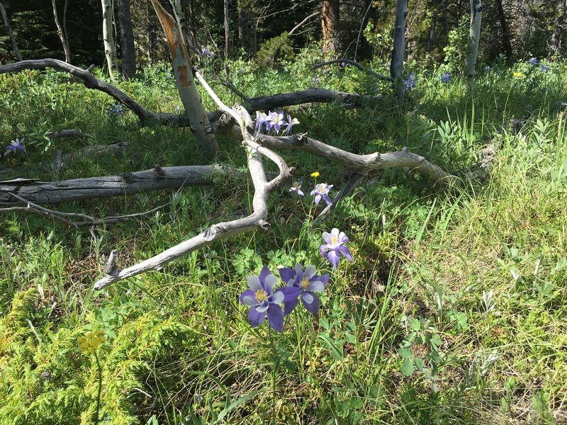Columbines grow everywhere along the trail!