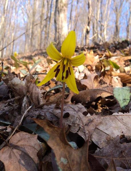 This is just one of hundreds of trout lilies we saw on the John Noel Trail.