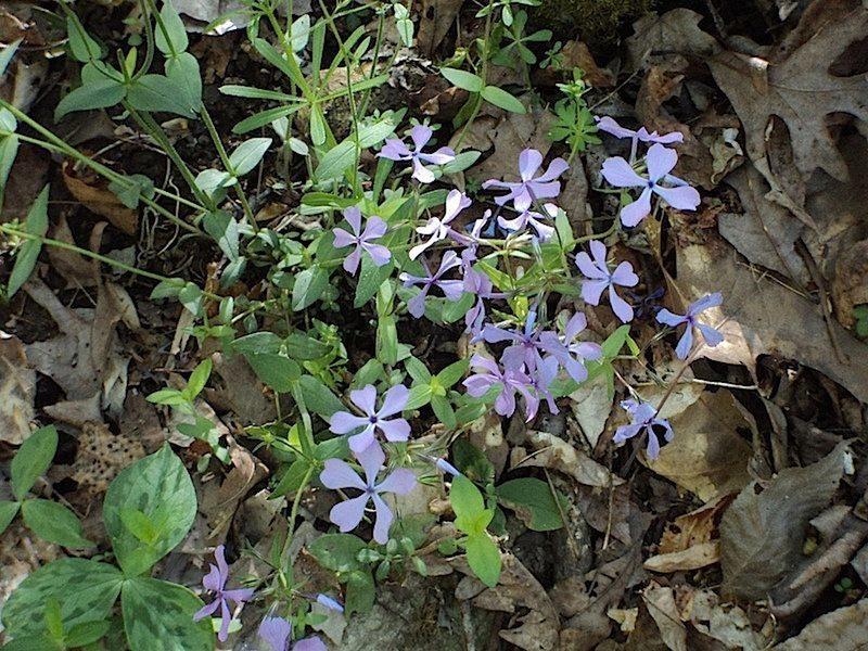 Some nice purple Phlox flourishes along the John Noel Trail.