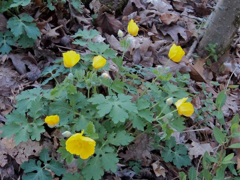 These celandines grow in one place at John Noel, and only for a brief time each year.