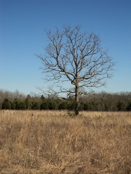 """This """"sentinel tree"""" is a landmark along the far southern verge of the trail."""