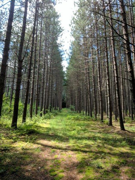 Straight shot between pines.