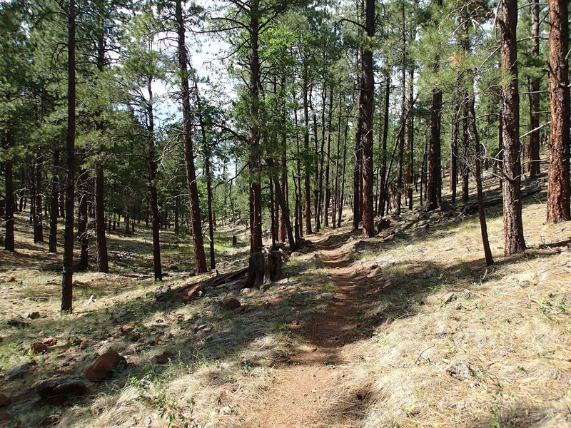 The Gold Digger Trail traverses similar forest to the Two-Spot Trail.