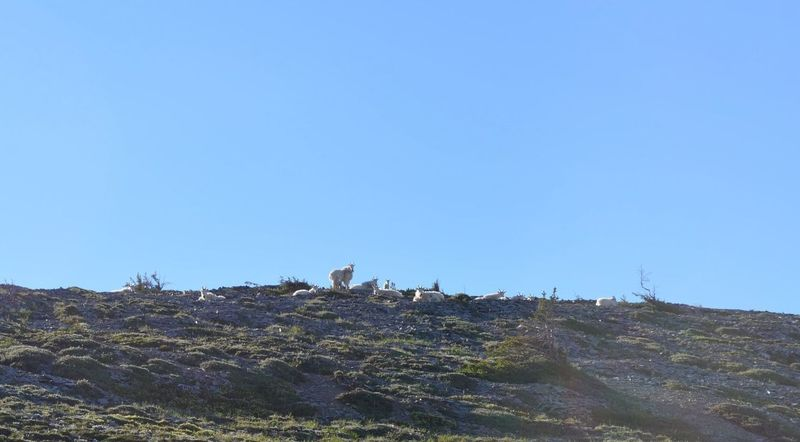Mountain Goats love to hang out near Skyscraper Pass.