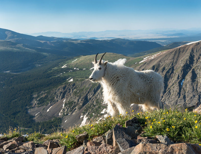 A happy goat admires the views from the Quandary Peak Trail.