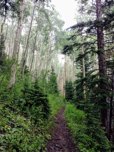 Aspen groves along the Grizzly Helena Trail.