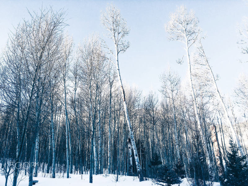 Wintertime aspens become covered in snow in this area.