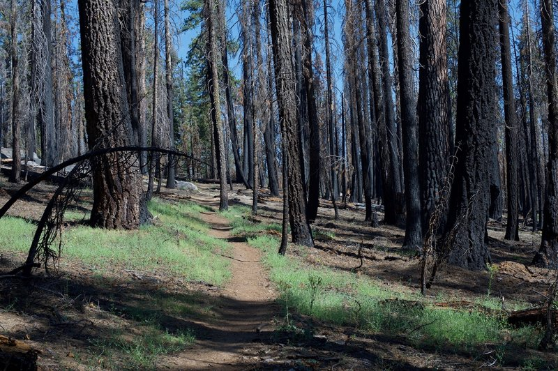 The trail passes through a large burned out section. You can see the forest regenerating as you pass along the trail.