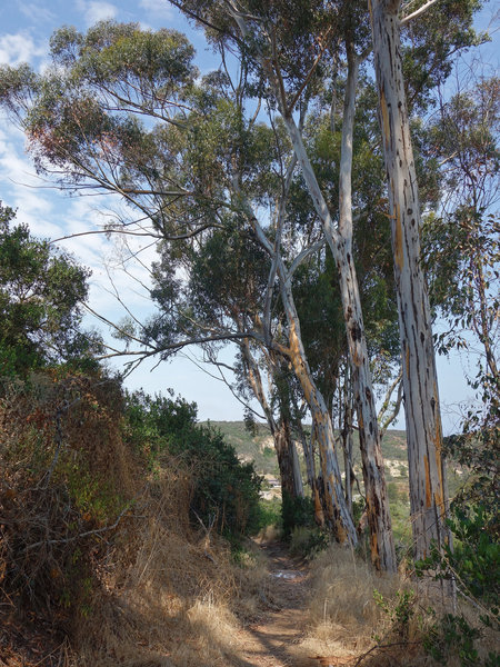 Eucalyptus trees line the drop to Little Shaw Valley
