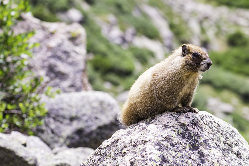 A marmot hanging out