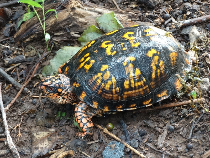 Box turtle on wooded trail