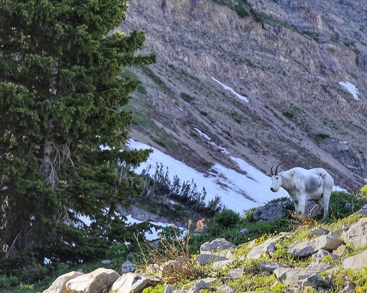 Mountain goat grazing in Timpanogos Basin. We came face to face with him on the way down along the forest trail as we all sought cover from the hailstorm.