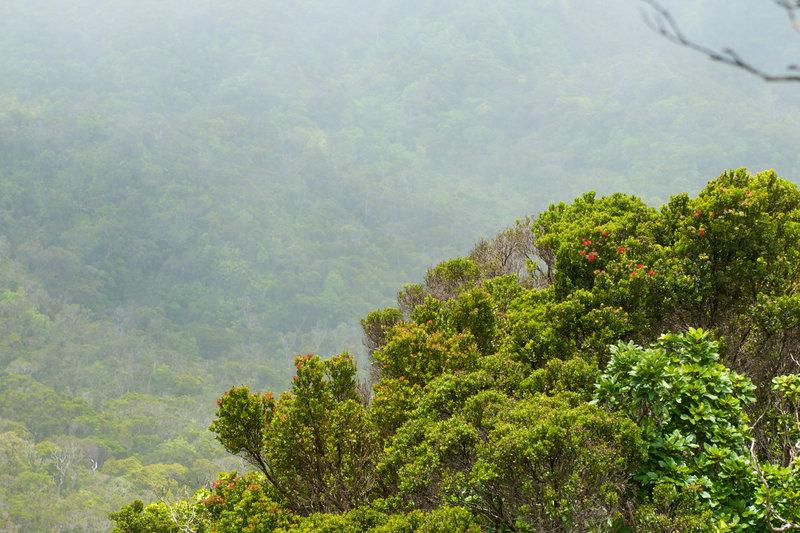 Fog and foliage intermingle along the Alakai Swamp Trail.