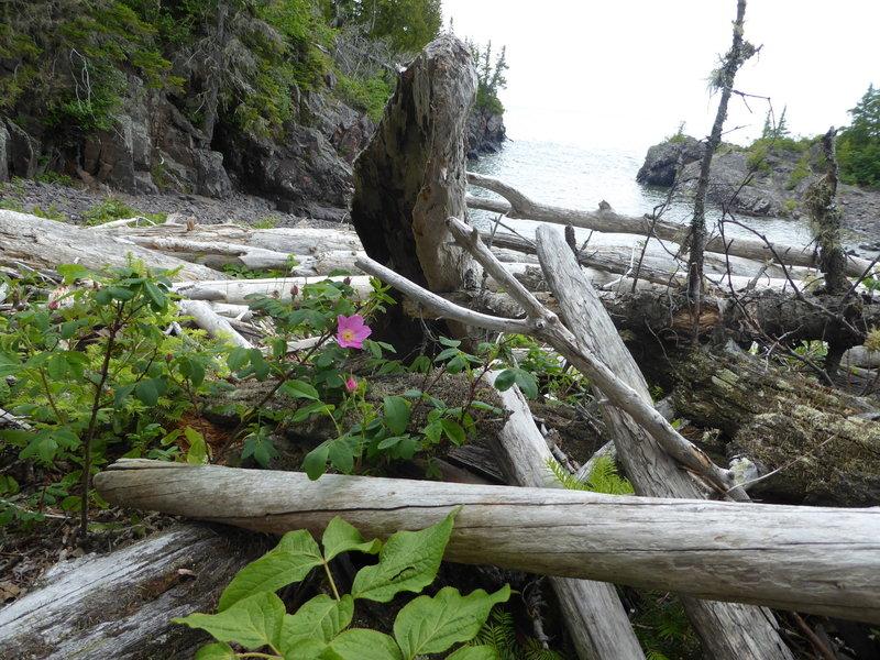 Rose peeking through driftwood on the northern shore of Mott Island.