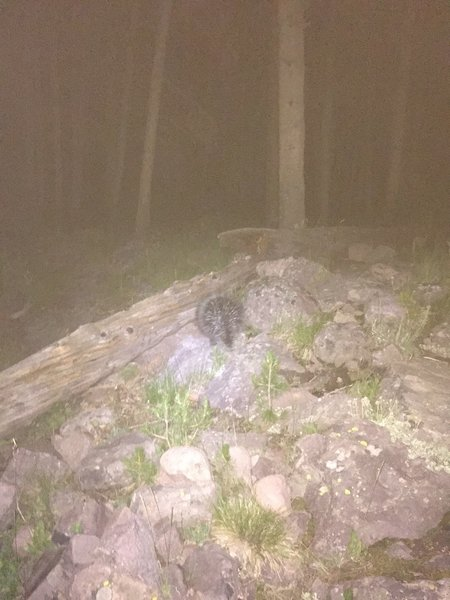 A porcupine lumbering around near the trail