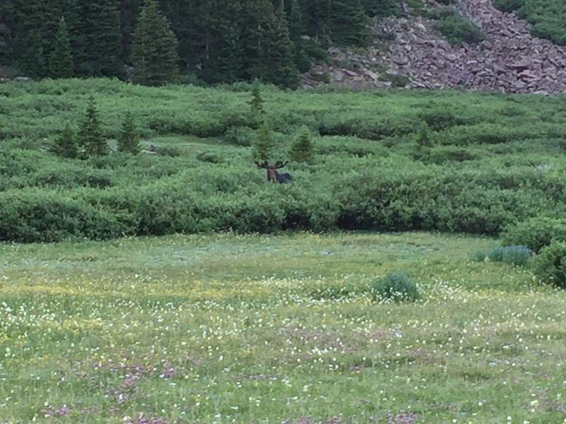 A bull moose up Henry's Fork.