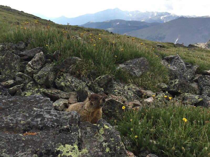 One of many marmots along the Chapin Pass Trail