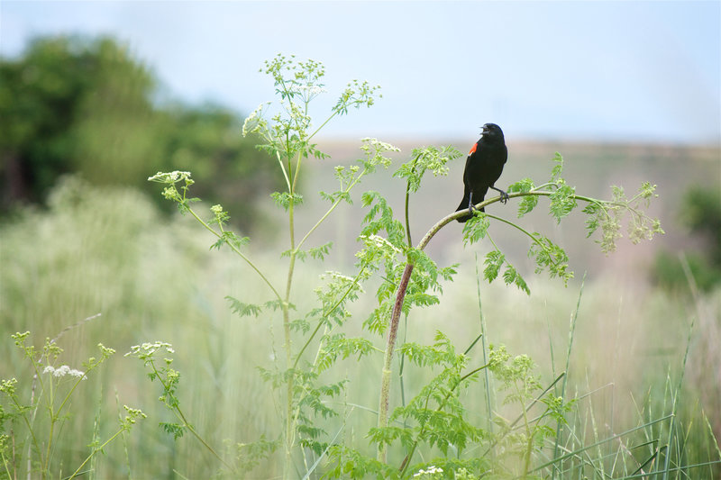 A red-winged blackbird calls from its perch along the Oregon Trail Path.