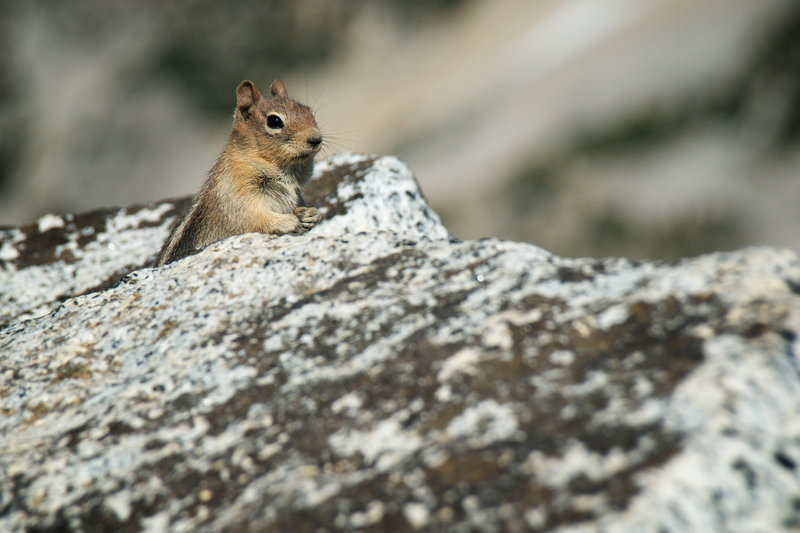Are you going to finish that sandwich? You'll find a number of chipmunks scavenging at the top.