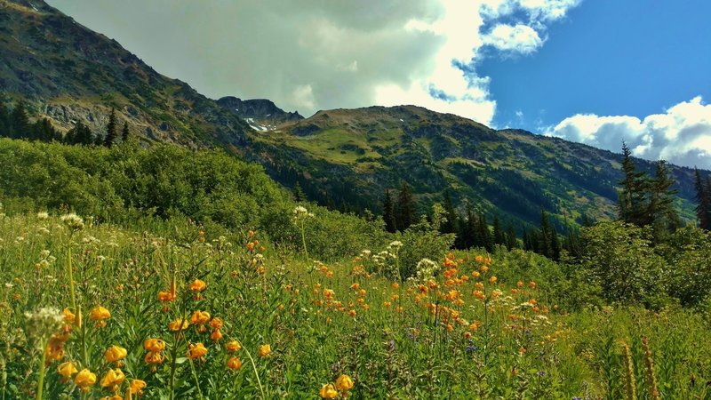 Wildflowers explode in color in the sub-alpine meadows of Fisher Creek Trail