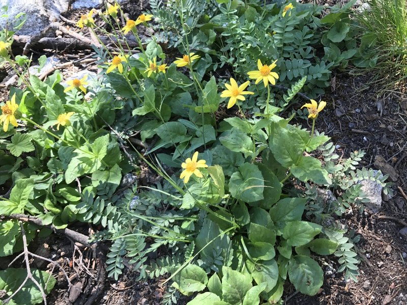 Heartleaf arnica wildflower on Pacific Crest Trail in Russian Wilderness