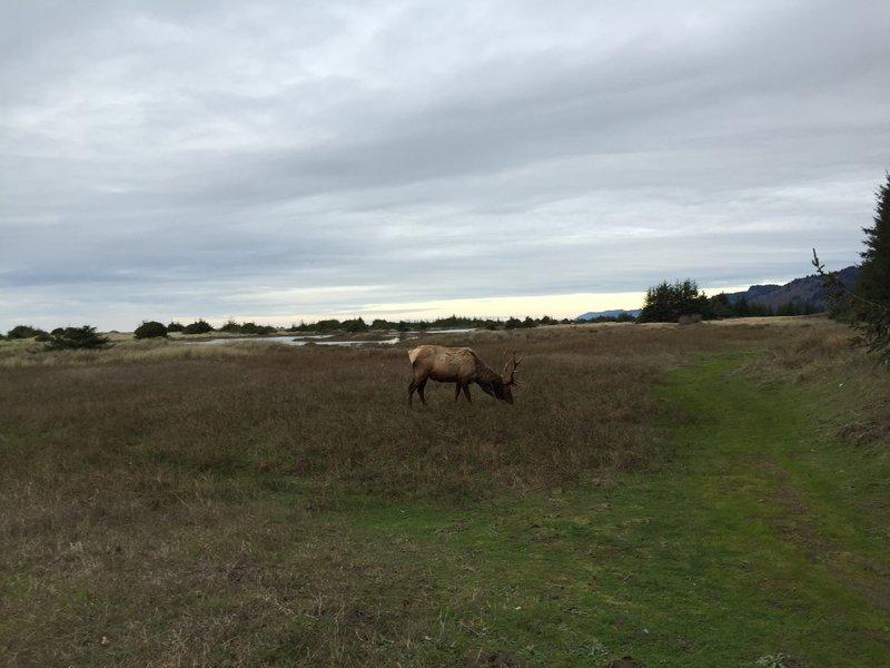 Elk on Coastal Trail