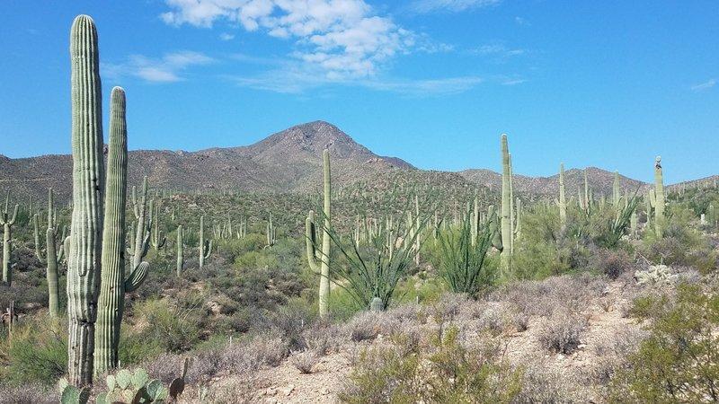 Saguaro Cactus surround the trailhead.