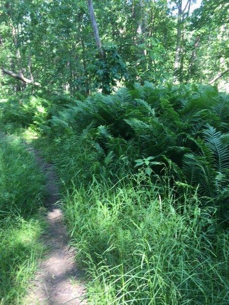 Single trail through the lowland.