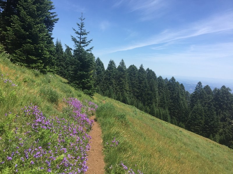 Lots of Penstemon along trail during late June