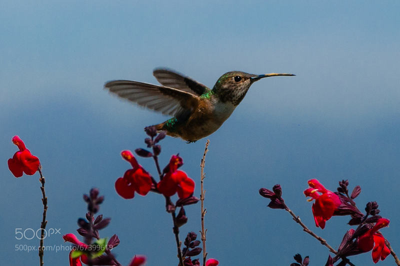 Hummingbird in Griffith Park, L.A.