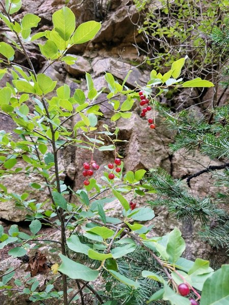 Huckleberry Bush amongst the pines.