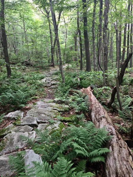 Large stepping stones and ferns on upper elevation of Mountain View Trail