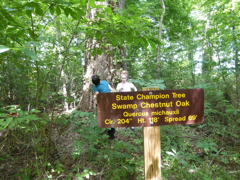 One of several state champion trees along the trails in Big Oak Tree State Park.