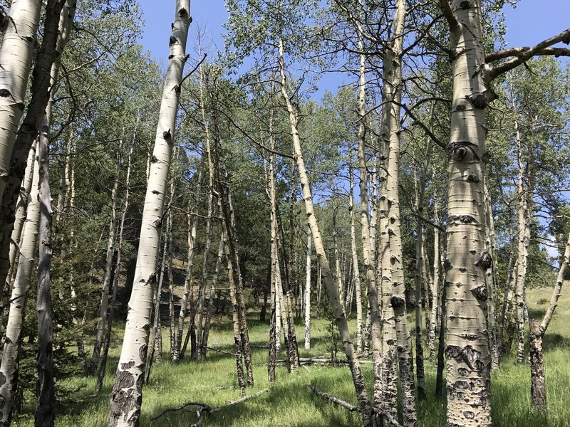 Stand of Aspens in color