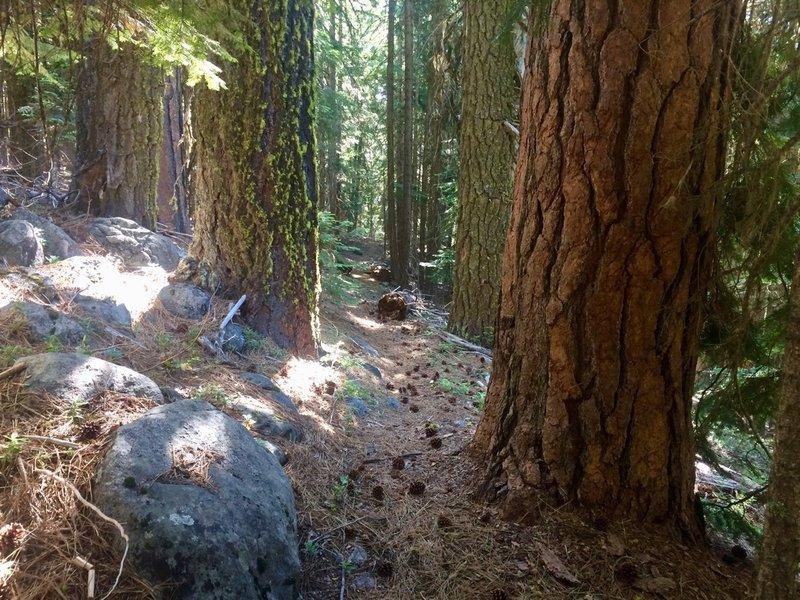 Large ponderosas dwarf the trail