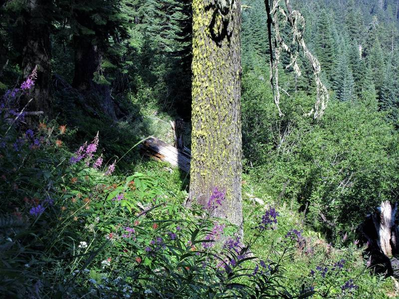 Fireweed and paintbrush on Upper Bull Gap trail (Photo by Robert Nicholson)